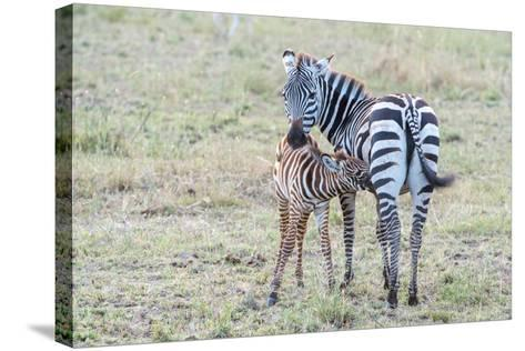 A Plains Zebra, Equus Quagga, Nursing its Young in Serengeti National Park-Tom Murphy-Stretched Canvas Print