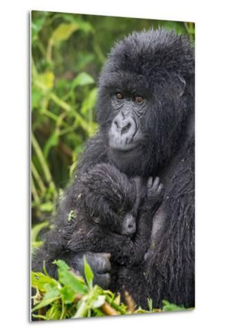 Mountain Gorilla, Gorilla Beringei Beringei, with its Young-Tom Murphy-Metal Print