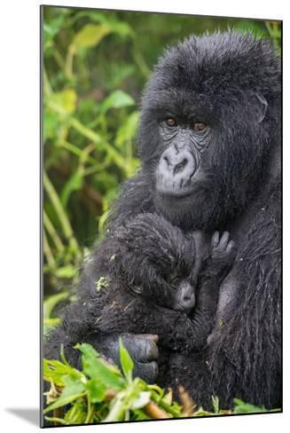 Mountain Gorilla, Gorilla Beringei Beringei, with its Young-Tom Murphy-Mounted Photographic Print