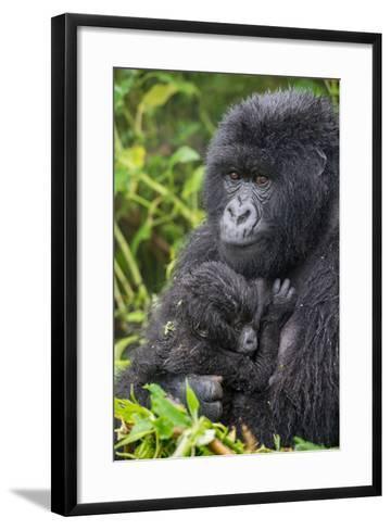 Mountain Gorilla, Gorilla Beringei Beringei, with its Young-Tom Murphy-Framed Art Print