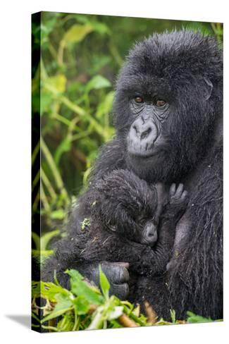 Mountain Gorilla, Gorilla Beringei Beringei, with its Young-Tom Murphy-Stretched Canvas Print