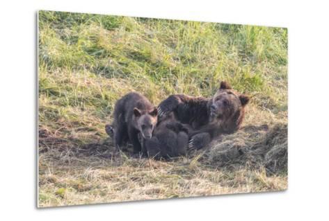 Brown Bear, Ursus Arctos, with its Cub Resting in Grass-Tom Murphy-Metal Print