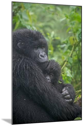 Mountain Gorilla, Gorilla Beringei Beringei, with its Young-Tom Murphy-Mounted Photographic Print