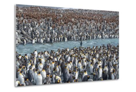 Colony of King Penguins, Aptenodytes Patagonicus, Near the Shore at South Georgia Island-Tom Murphy-Metal Print