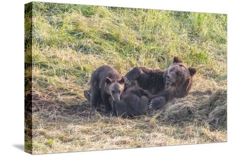 Brown Bear, Ursus Arctos, with its Cub Resting in Grass-Tom Murphy-Stretched Canvas Print