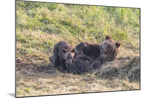 Brown Bear, Ursus Arctos, with its Cub Resting in Grass-Tom Murphy-Mounted Photographic Print