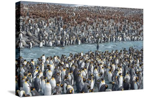 Colony of King Penguins, Aptenodytes Patagonicus, Near the Shore at South Georgia Island-Tom Murphy-Stretched Canvas Print