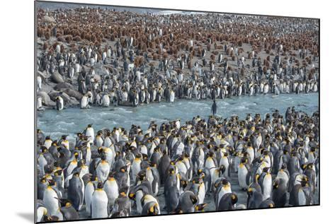 Colony of King Penguins, Aptenodytes Patagonicus, Near the Shore at South Georgia Island-Tom Murphy-Mounted Photographic Print
