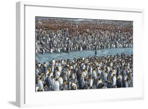 Colony of King Penguins, Aptenodytes Patagonicus, Near the Shore at South Georgia Island-Tom Murphy-Framed Art Print