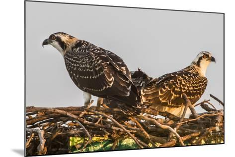 Juvenile Ospreys on a Nest at Sunset on the Occoquan River in Northern Virginia-Kent Kobersteen-Mounted Photographic Print