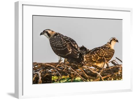 Juvenile Ospreys on a Nest at Sunset on the Occoquan River in Northern Virginia-Kent Kobersteen-Framed Art Print