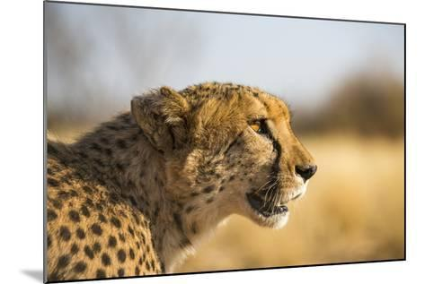 A Cheetah, Acinonyx Jubatus, on the Desert Plains in Southern Namibia Stalks Prey-Alex Treadway-Mounted Photographic Print