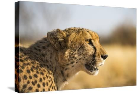 A Cheetah, Acinonyx Jubatus, on the Desert Plains in Southern Namibia Stalks Prey-Alex Treadway-Stretched Canvas Print