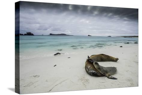 Galapagos Sea Lions Relaxing on the Beach-Jad Davenport-Stretched Canvas Print