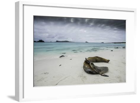 Galapagos Sea Lions Relaxing on the Beach-Jad Davenport-Framed Art Print