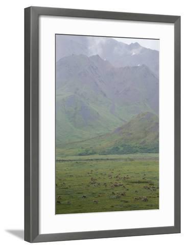 Caribou, Rangifer Tarandus, Graze in Denali National Park-Erika Skogg-Framed Art Print
