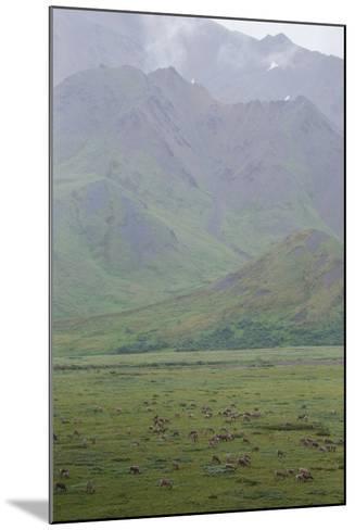 Caribou, Rangifer Tarandus, Graze in Denali National Park-Erika Skogg-Mounted Photographic Print