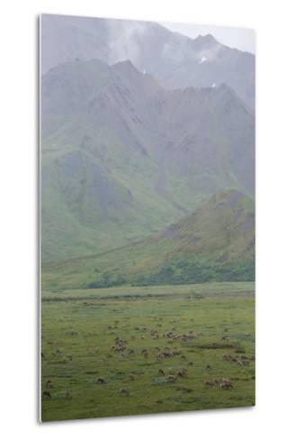 Caribou, Rangifer Tarandus, Graze in Denali National Park-Erika Skogg-Metal Print