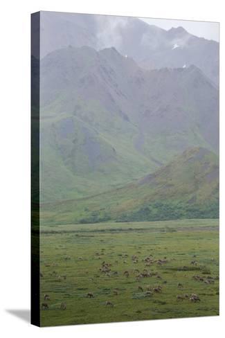 Caribou, Rangifer Tarandus, Graze in Denali National Park-Erika Skogg-Stretched Canvas Print