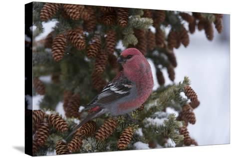 A Pine Grosbeak Perches on a Tree Branch-Michael Quinton-Stretched Canvas Print