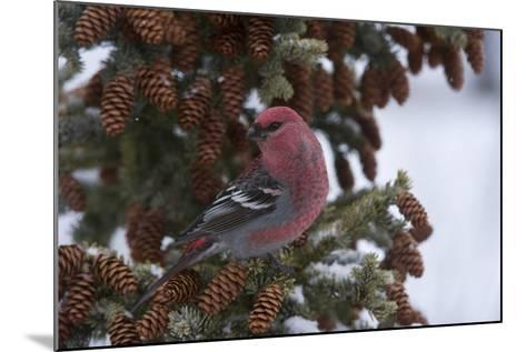 A Pine Grosbeak Perches on a Tree Branch-Michael Quinton-Mounted Photographic Print