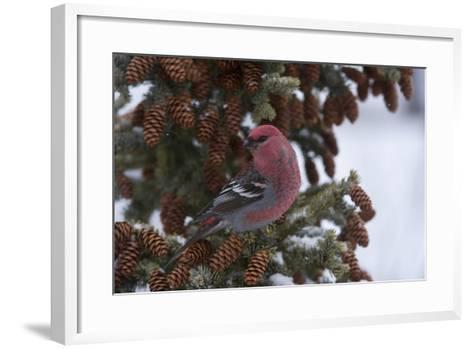 A Pine Grosbeak Perches on a Tree Branch-Michael Quinton-Framed Art Print