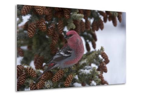 A Pine Grosbeak Perches on a Tree Branch-Michael Quinton-Metal Print