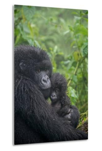 Mountain Gorilla, Gorilla Beringei Beringei, Embracing its Young-Tom Murphy-Metal Print