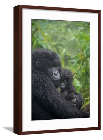 Mountain Gorilla, Gorilla Beringei Beringei, Embracing its Young-Tom Murphy-Framed Art Print