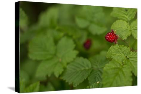 Ripe Salmonberries, Rubus Spectabilis, on the Bush in Alaska-Erika Skogg-Stretched Canvas Print