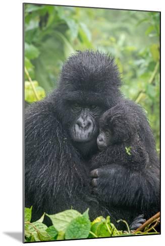 Portrait of Mountain Gorilla, Gorilla Beringei Beringei, with its Young-Tom Murphy-Mounted Photographic Print