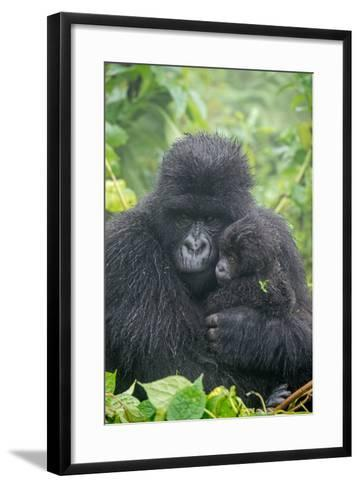 Portrait of Mountain Gorilla, Gorilla Beringei Beringei, with its Young-Tom Murphy-Framed Art Print