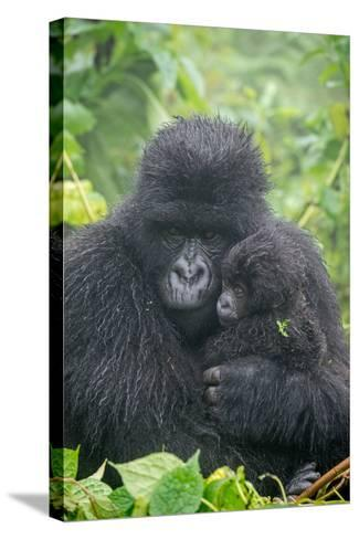 Portrait of Mountain Gorilla, Gorilla Beringei Beringei, with its Young-Tom Murphy-Stretched Canvas Print