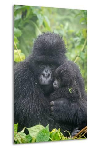 Portrait of Mountain Gorilla, Gorilla Beringei Beringei, with its Young-Tom Murphy-Metal Print