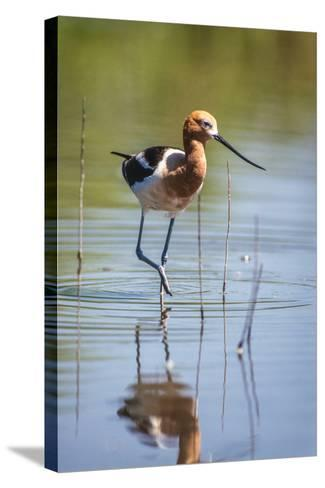 American Avocet, Recurvirostra Americana, Wading in Water-Tom Murphy-Stretched Canvas Print