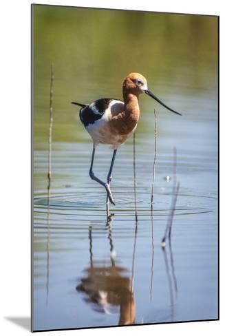 American Avocet, Recurvirostra Americana, Wading in Water-Tom Murphy-Mounted Photographic Print