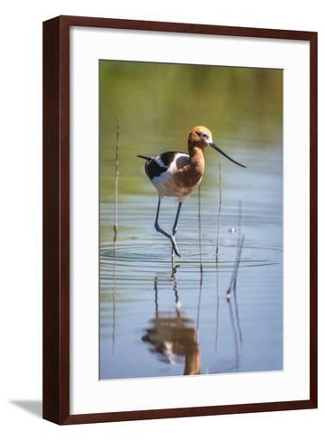 American Avocet, Recurvirostra Americana, Wading in Water-Tom Murphy-Framed Art Print