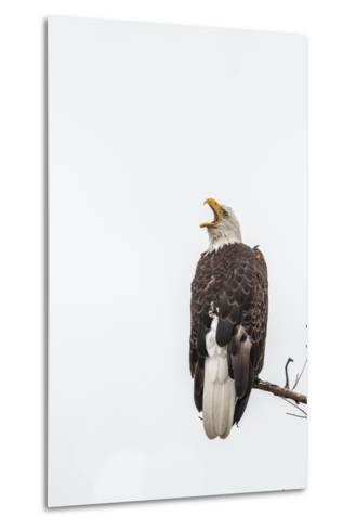 Bald Eagle, Haliaeetus Leucocephalus, Perched on a Branch-Tom Murphy-Metal Print