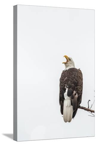 Bald Eagle, Haliaeetus Leucocephalus, Perched on a Branch-Tom Murphy-Stretched Canvas Print