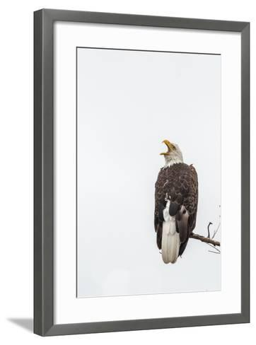 Bald Eagle, Haliaeetus Leucocephalus, Perched on a Branch-Tom Murphy-Framed Art Print