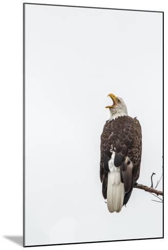 Bald Eagle, Haliaeetus Leucocephalus, Perched on a Branch-Tom Murphy-Mounted Photographic Print