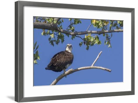 An Osprey Perches on a Tree Branch Along the Occoquan River in Northern Virginia-Kent Kobersteen-Framed Art Print