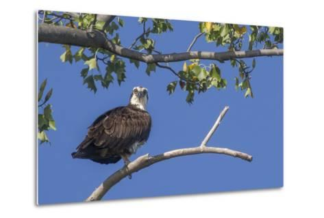 An Osprey Perches on a Tree Branch Along the Occoquan River in Northern Virginia-Kent Kobersteen-Metal Print