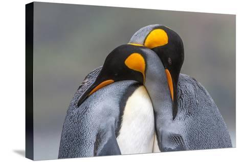 Two King Penguin, Aptenodytes Patagonicus, Embracing-Tom Murphy-Stretched Canvas Print