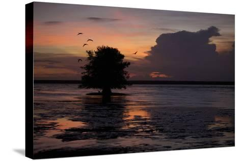 Scarlet Ibises Fly Through the Orange Sky at Sunset over Orinoco River Delta, Venezuela-Timothy Laman-Stretched Canvas Print