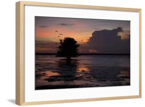 Scarlet Ibises Fly Through the Orange Sky at Sunset over Orinoco River Delta, Venezuela-Timothy Laman-Framed Art Print