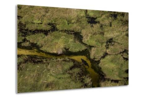 A Crocodile, Crocodylinae, Swimming Through a Small Canal in the Wetlands-Beverly Joubert-Metal Print