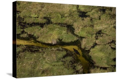 A Crocodile, Crocodylinae, Swimming Through a Small Canal in the Wetlands-Beverly Joubert-Stretched Canvas Print