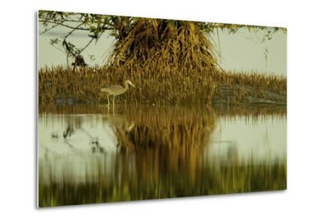 A Little Blue Heron Forages Underneath a Mangrove Tree in the Orinoco River Delta-Timothy Laman-Metal Print