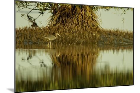 A Little Blue Heron Forages Underneath a Mangrove Tree in the Orinoco River Delta-Timothy Laman-Mounted Photographic Print